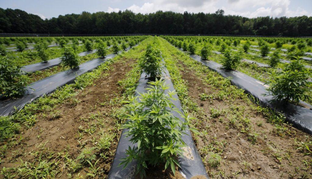 Boom cannabis