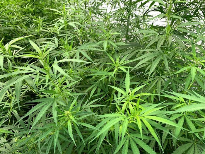 De 27 firmas, solo 3 ya tienen cupo para venta de 'cannabis'